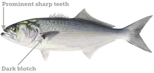Bluefish regulations for Nc saltwater fishing regulations