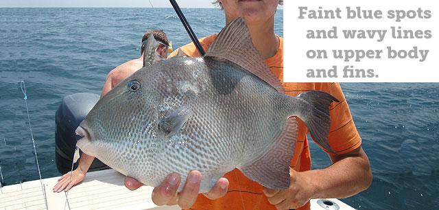 Triggerfish and amberjack seasons cut short by feds - al.com