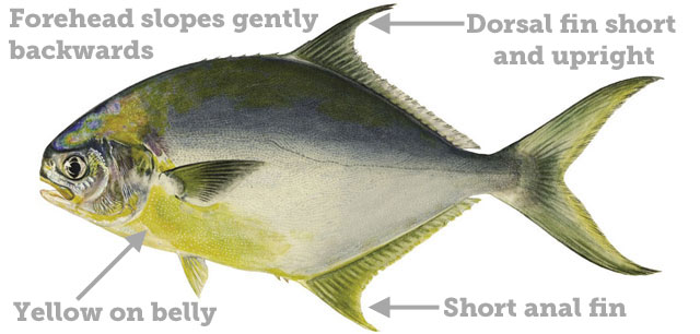 Pompano regulations for Florida saltwater fish size limits