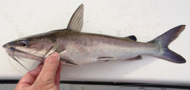 Catfish hardhead regulations for Texas fish size limits