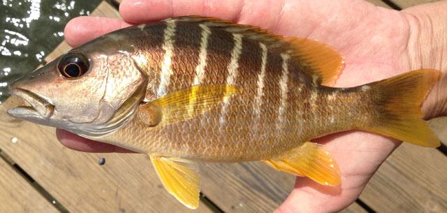 Snapper schoolmaster regulations for Fish safe paint