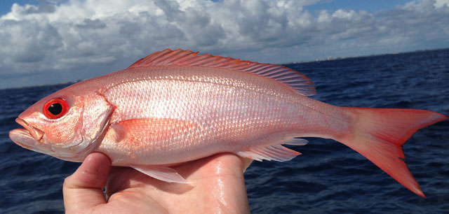 snapper vermilion regulations